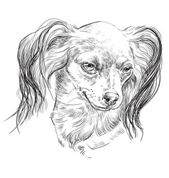 Russian long-haired toy terrier hand drawing vector