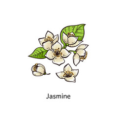 jasmine drawing set - hand drawn white flower vector image