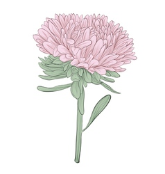 Aster flower isolated on white background vector