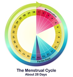 The Menstrual Cycle vector image