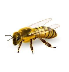 Wasp realistic isolated vector image vector image