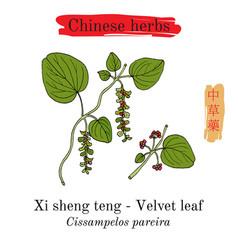 medicinal herbs of china velvetleaf vector image