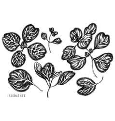 Set hand drawn black and white iresine vector