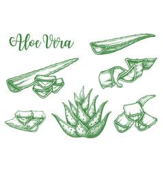 alor vera plant leaf drops sketch vector image