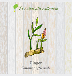 pure essential oil collection ginger wooden vector image