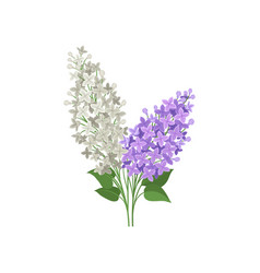 branch of white and purple lilac flowers vector image