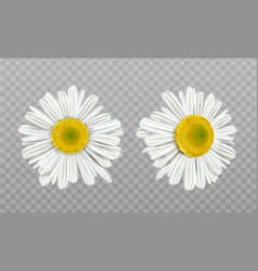 realistic spring chamomile daisy flowers vector image
