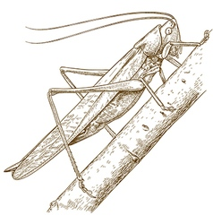 engraving grasshopper vector image