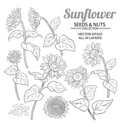 Sunflower plant set on white background vector
