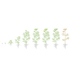 Dill fennel plant growth stages vector
