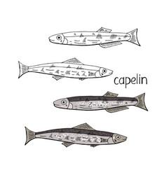 hand drawn fish capelin black and white and color vector image