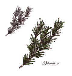 rosemary seasoning sketch plant icon vector image