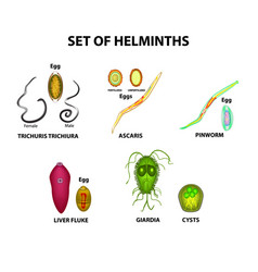 Set of helminths their eggs worms hepatic fluke vector