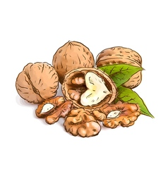 Walnut Watercolor with sketch imitation vector