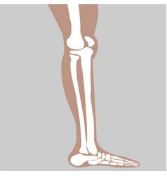human knee vector image