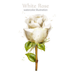 watercolor white rose isolated beautiful vector image