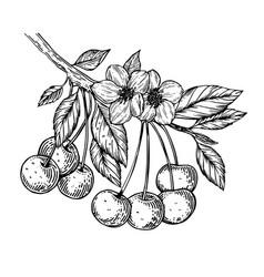 Cherry branch engraving vector