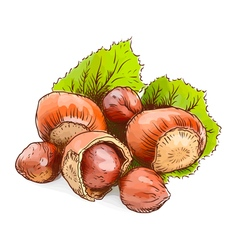 Hazelnut - a filbert Watercolor imitation vector image