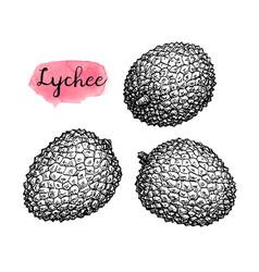 Ink sketch set of lychee fruits vector