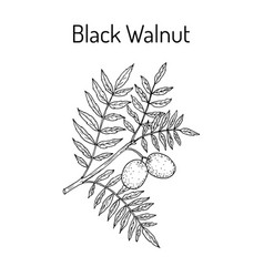 eastern black walnut juglans nigra vector image