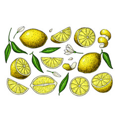 Lemon drawing summer fruit artistic vector
