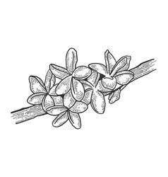 plumeria flower sketch engraving vector image