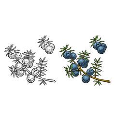 branch juniper with berries vintage vector image