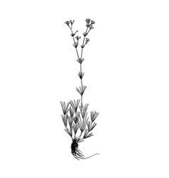 galium companulatium handdrawn vector image