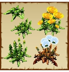 Stages growth dandelion planting and withering vector