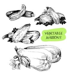 Vegetable marrows vector image