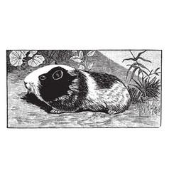 guinea pig vintage vector image