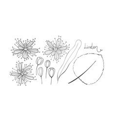 a set of sketch linden isolated elements outline vector image