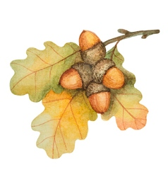 Watercolor oak branch with acorns vector image