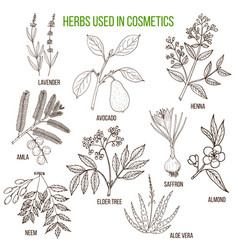Herbs used in cosmetology vector