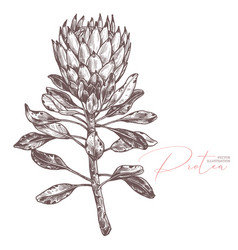 king tropical protea sketch vector image