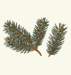 green lush spruce branch fir branches collection vector image