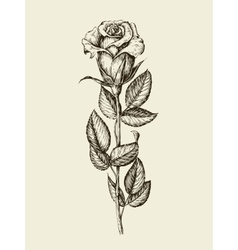 Hand drawn vintage rose vector