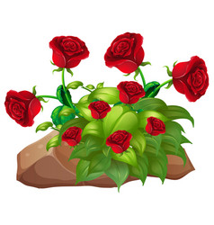 red roses and rocks on white background vector image