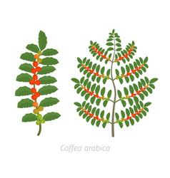 Coffee plant bush tree red vector