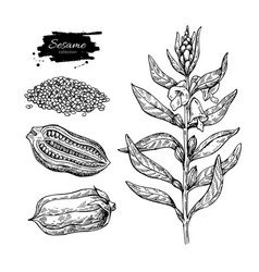 Sesame plant drawing hand drawn food vector
