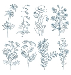 Herbs wild flowers botanical medicinal organic vector image