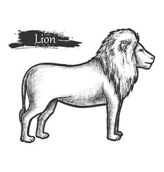 lion sketch zoo and african jungle wild animal vector image