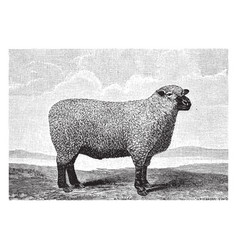 Southdown sheep vintage vector