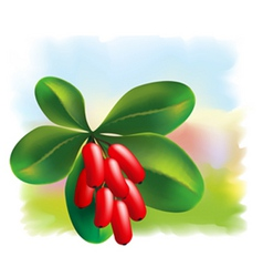 barberry vector image