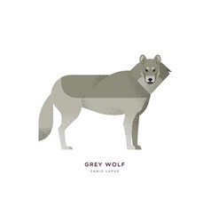grey wolf isolated wild animal cartoon vector image