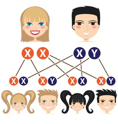 Gender dependency from chromosomes vector image