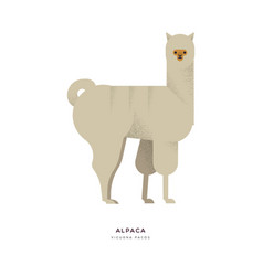 alpaca wild zoo animal on isolated background vector image