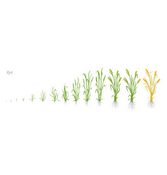 Growth stages of rye plant cereal increase phases vector