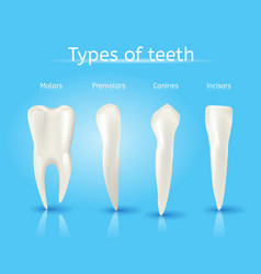 Types of human teeth realistic concept vector