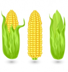 ears of ripe corn vector image vector image